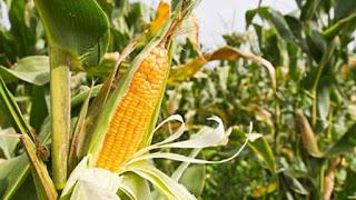 El origen del maíz – Leyenda azteca