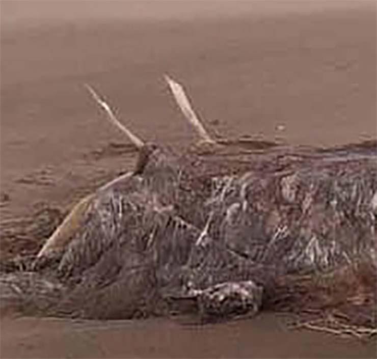 misteriosa bestia playa escocesa - Aparece el esqueleto de una misteriosa bestia después de una tormenta en una playa escocesa