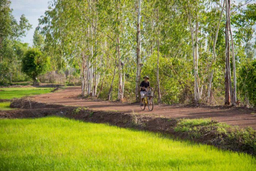 Granjero anda en bicicleta cerca de sus campos de arroz jazmín