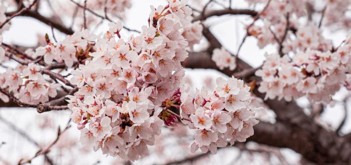 Símbolos Japoneses. Los amuletos de la mitología japonesa. Flor de cerezo