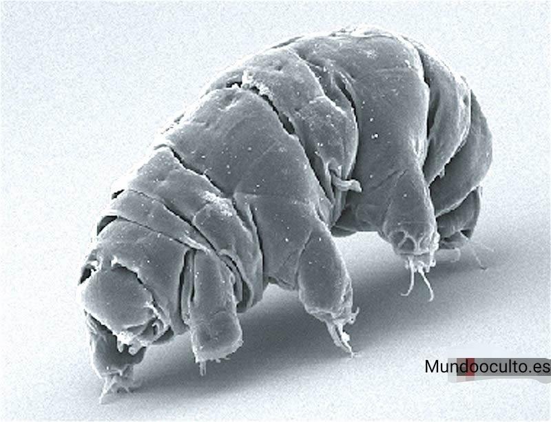 Tardígrados tienen una armadura de ADN y actualmente empezamos a comprender cómo funciona