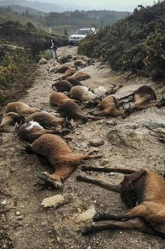 """¿Rayos del cielo? En Portugal, un extraño rayo """"estalló desde el interior"""" 68 cabras 2"""